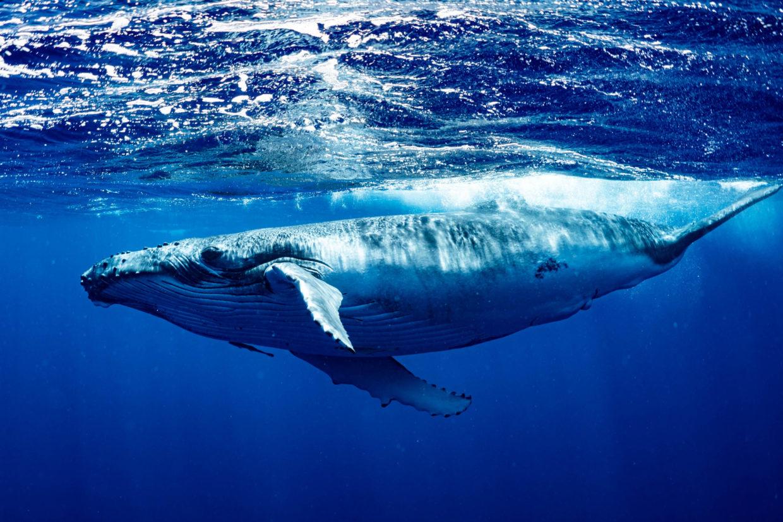 Il ritorno della balena blu