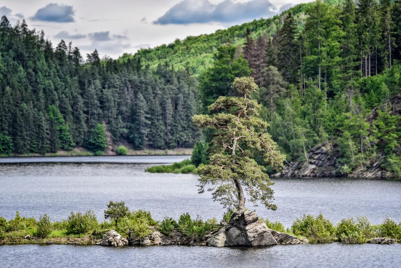 Un pino della Repubblica Ceca votato albero europeo dell'anno